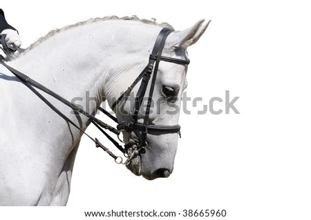 A portrait of gray dressage horse isolated on white