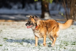 A portrait of large mixed-breed stray dog Sheepdog taras off to the side against a winter white background. Copy space. The dog's eyes search for its owner.