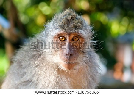 A portrait of macaque monkey. The picture was taken in The Ubud Monkey Forest, Bali, Indonesia.