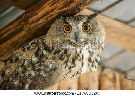 A portrait of owl with big orange eyes looking straight at you. #1196003209