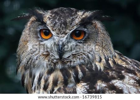 A portrait of the European Eagle Owl (Bubo Bubo)