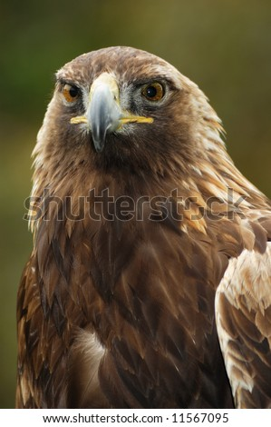 A portrait of the golden eagle (Aquila chrysaetos) looking straight at the viewer.