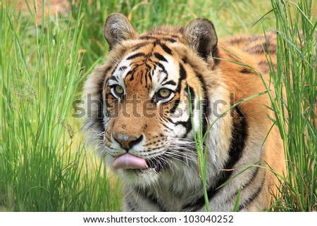 A portrait of tiger