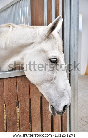 A portrait of white horse in stable behind cage