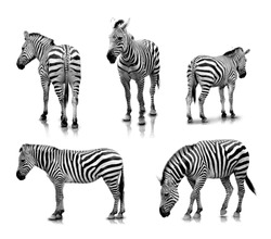 A portrait of Zebras in many angles and poses, isolated in white background