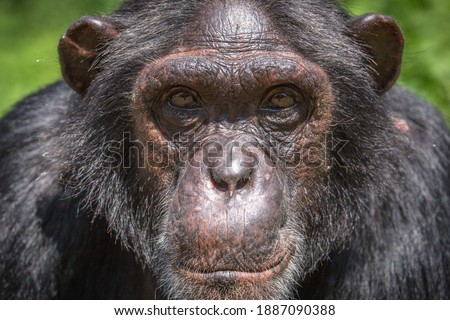 A portrait photo of an adult chimpanzees face. Adult chimpanzees can be distinguished by their dark or black skin, and typically have dark coloured eyes with a white beard. Сток-фото ©