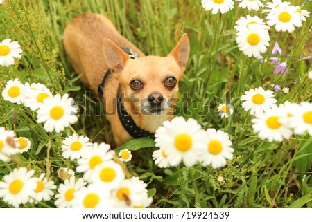 A portrait picture of the chihuahua dog during the walk in the nature.