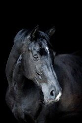 A portrait shot of a black horse on a black background