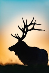 A portrait silhouette of a Bull Elk at sunset.