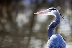 A portraiture image of a great blue heron by the lake.