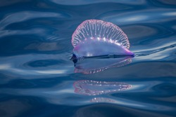 A portuguese man-o-war, Physalia, floatin motionless in the ocean surface. This siphonophore is a dangerouse marine animal, that can sting painfully to careless swimmers or divers.