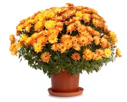 A pot of beautiful orange autumn chrysanthemums isolated on white background