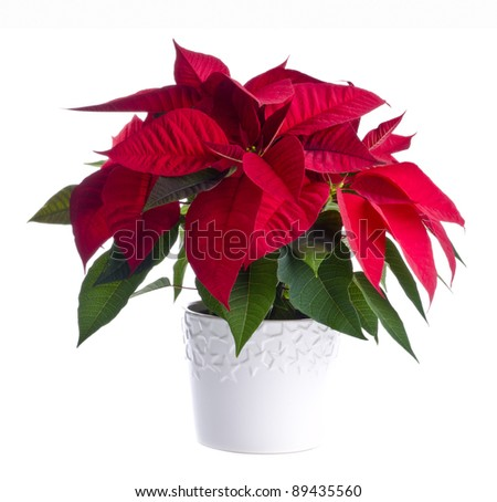 A Pot of Red Poinsettia Isolated on White