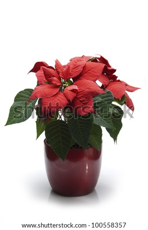 A potted poinsettia isolated on a white background.