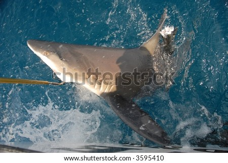 a 250 pound brown shark being bought to the boat