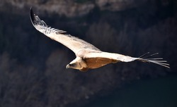 A powerful griffon vulture in spanish natural park