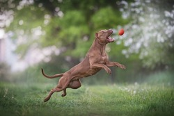 A powerful pit bull terrier with cropped ears jumping after an orange ball against the backdrop of a bright summer landscape. Paws in the air. The mouth is open. Profile view.