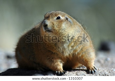 A prairie dog found in America's southwest.