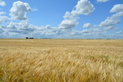 A prairie wheat field north of Grenfell Saskatchewan Canada