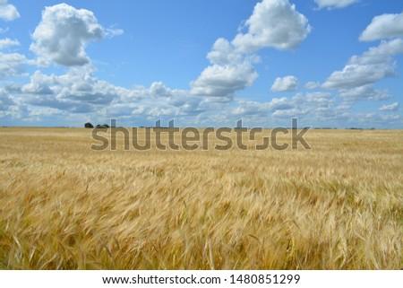 Photo of  A prairie wheat field north of Grenfell Saskatchewan Canada