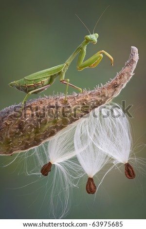 A praying mantis is standing on top of a milkweed pod.