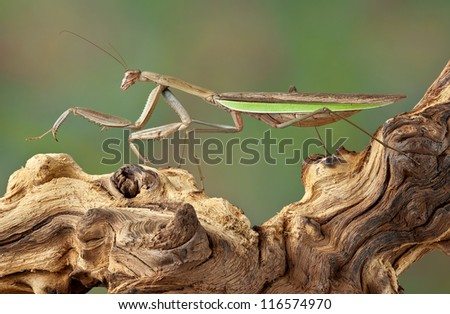 A praying mantis is walking on a dead branch. #116574970