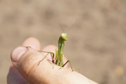 A praying mantis on a hand. The green insect mantis sits on the girl's thumb. Front view, close-up. Mantodea