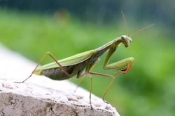 A praying mantis on a terrace