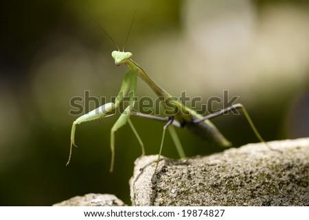 A praying mantis standing on a rock.