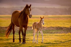 A precious newborn foal walking alongside its beautiful mother in the golden evening hours as the chocolate brown mother bonds, nurtures and teaches her new little one