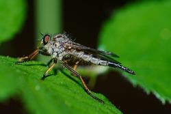 A predator fly on a leaf