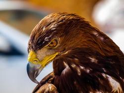 a predator golden eagle with a dangerous look