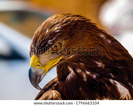 a predator golden eagle with a dangerous look Stock photo ©