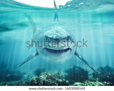A predator great white shark swimming in the ocean coral reef shallows just below the water line closing in on its victim . 3d rendering with god rays Stockfoto ©