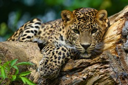 A predatory jaguar on a tree.