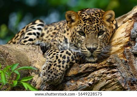 A predatory jaguar on a tree. Photo stock ©