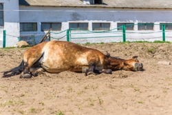 A pregnant horse is lying on the farm.