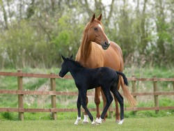 A pretty black foal stands in a paddock with its mother. foal stands in a paddock with its mother.