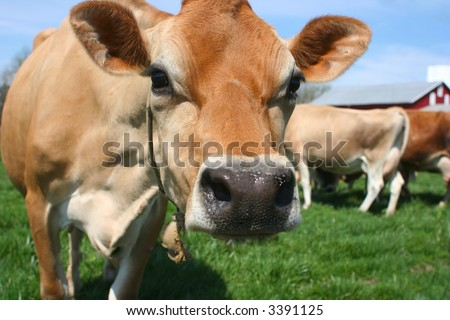 A pretty bovine hanging out in a green pasture