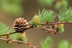 A pretty branch of a Larch, Tree, European, Larix decidua, growing in woodland in the UK.