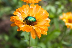 A pretty Chafer rose or a green Chafer Beetle rose, Cetonia aurata, nectiating on a calendula flower