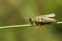 A pretty Common green Grasshopper, Omocestus viridulus, perching on grass in a field in the UK.