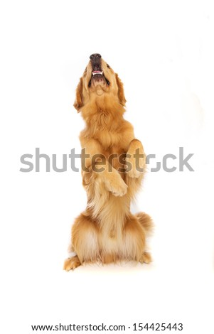 A pretty golden retriever dog sititing up tall begging for a treat