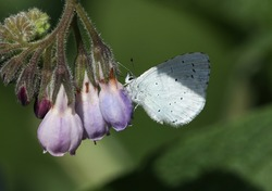A pretty Holly Blue Butterfly, Celastrina argiolus, perching on a Comfrey flower in springtime.