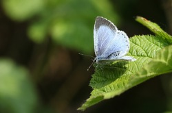 A pretty Holly Blue Butterfly, Celastrina argiolus, perching on a leaf in spring.