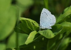 A pretty Holly Blue Butterfly, Celastrina argiolus, perching on a leaf in springtime.