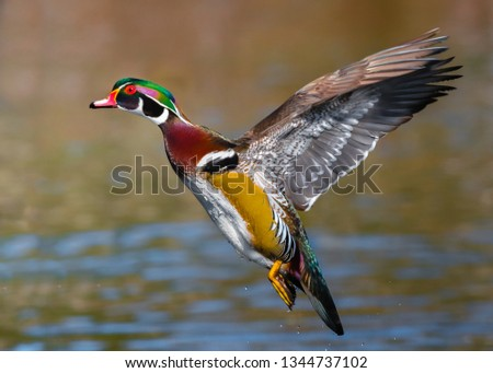 A pretty male wood duck is in flight, with its wings up on the back, displaying all the beautiful colors of its body.   #1344737102