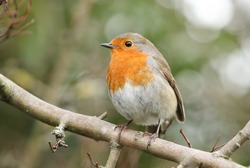 A pretty Robin, Erithacus rubecula, perching on a branch in a tree.