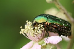 A pretty Rose Chafer or Green rose Chafer Beetle, Cetonia aurata, pollinating a Blackberry flower.