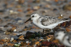 A pretty Sanderling, Calidris alba, is feeding at the edge of the sea as the tide comes back in.